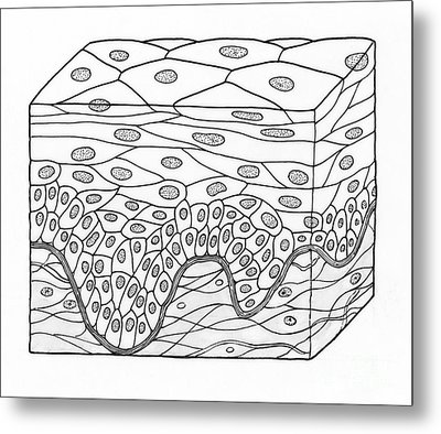 Illustration Of Stratified Squamous Metal Print by Science Source