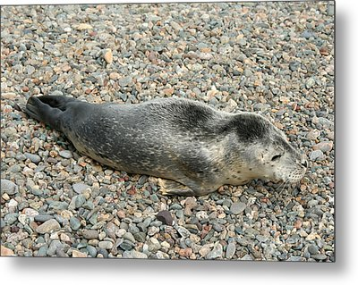 Injured Harbor Seal Metal Print by Ted Kinsman