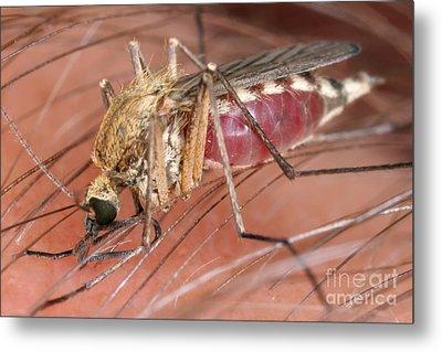Mosquito Biting A Human Metal Print by Ted Kinsman