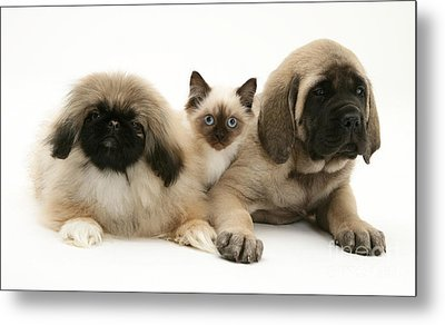 Puppies And Kitten Metal Print by Jane Burton