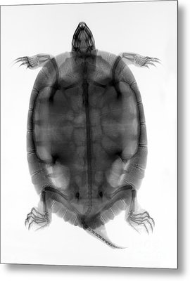 Red-eared Slider Turtle X-ray Metal Print by Ted Kinsman
