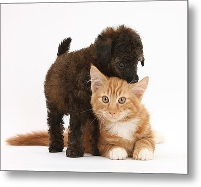 Toy Poodle Puppy With Kitten Metal Print