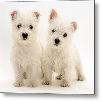 West Highland White Terriers Metal Print by Jane Burton