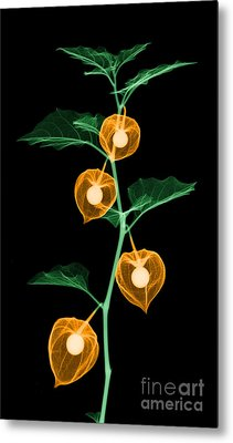 X-ray Of Chinese Lantern Plant Metal Print by Ted Kinsman