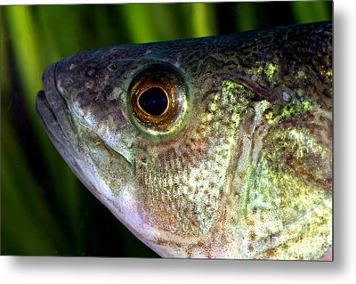 Yellow Perch Perca Flavescens Metal Print by Ted Kinsman