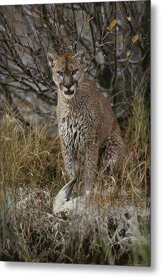 A Mountain Lion, Felis Concolor Metal Print by Jim And Jamie Dutcher