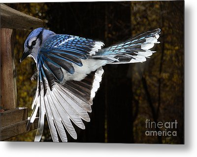 Blue Jay In Flight Metal Print