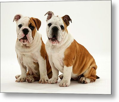 Bulldog Pups Metal Print by Jane Burton