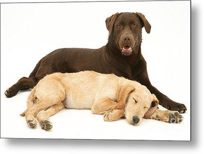Labradoodle And Labrador Retriever Metal Print by Jane Burton