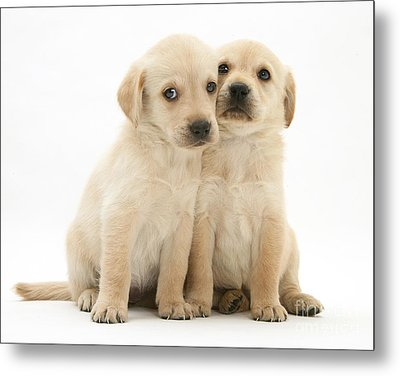 Labrador Retriever Puppies Metal Print by Jane Burton