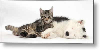 Tabby Kitten & Border Collie Metal Print by Mark Taylor