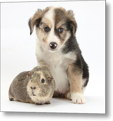 Border Collie Pup And Guinea Pig Metal Print by Mark Taylor