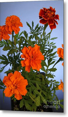 Marigolds Metal Print by Photo Researchers, Inc.
