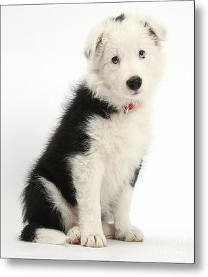 Border Collie Puppy Metal Print by Mark Taylor