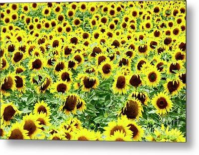 Field Of Sunflowers Metal Print by Bernard Jaubert