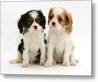 Puppies Metal Print by Jane Burton