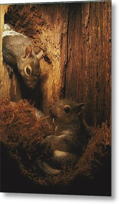 A A Baby Eastern Gray Squirrel Sciurus Metal Print by Chris Johns