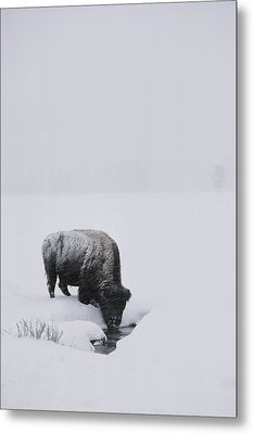 A American Bison Bison Bison Finds Metal Print by Tom Murphy