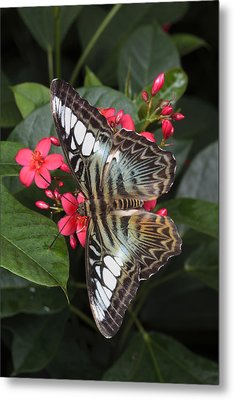A Blue Clipper Butterfly Feeds Metal Print by George Grall