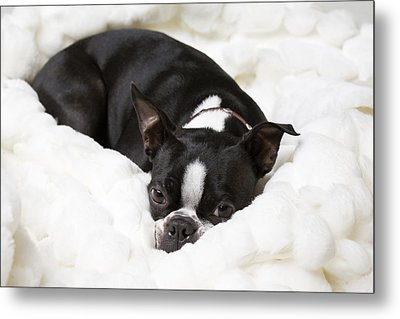 A Boston Terrier Rests On A Puffy White Metal Print by Hannele Lahti