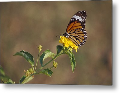 A Butterfly Feeds On Bright Yellow Metal Print by Jason Edwards