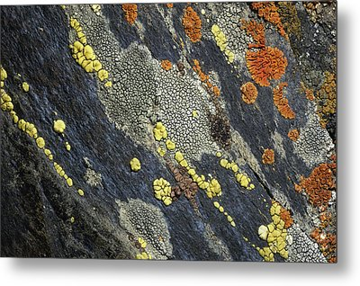 A Close View Of Crustose Lichens Metal Print by Sylvia Sharnoff