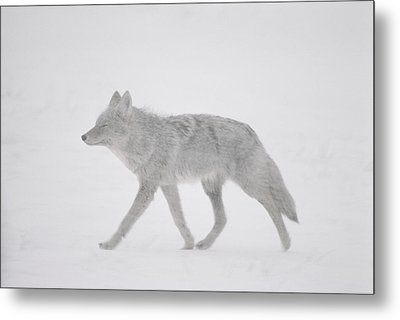 A Coyote Canis Latrans Moves Metal Print by Annie Griffiths