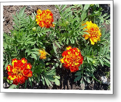 Metal Print featuring the photograph A Dazzling Foursome by Frank Wickham