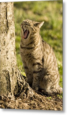 A Domestic Cat Yawning By A Tree Metal Print by Tim Laman