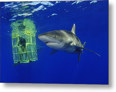 A Female Oceanic Whitetip Shark Swims Metal Print by Brian J. Skerry