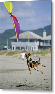 A German Shepherd Leaps For A Kite Metal Print by Phil Schermeister