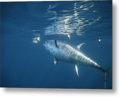 A Giant Bluefin Tuna Feeds Metal Print by Brian J. Skerry