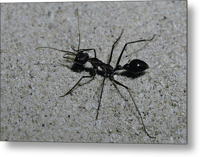 A Huge Bull Dog Ant Marches Metal Print by Jason Edwards