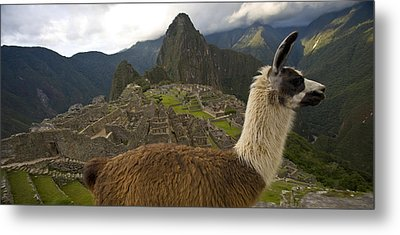 A Llama And Reconstructed Stone Metal Print by Michael Melford