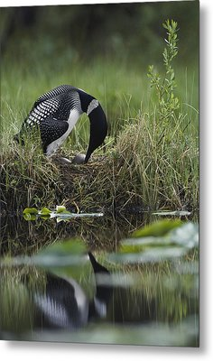 A Loon Raises Itself To Turn Its Eggs Metal Print by Michael S. Quinton