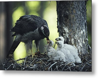 A Northern Goshawk Feeds Its Scrawny Metal Print by Michael S. Quinton