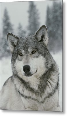 A Portrait Of A Beautiful Gray Wolf Metal Print by Jim And Jamie Dutcher