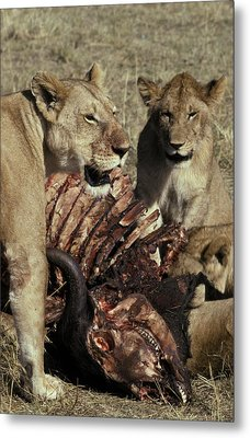 A Pride Of African Lions Feed Metal Print by Jason Edwards