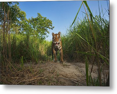 A Protected Tiger In Kaziranga National Metal Print by Steve Winter