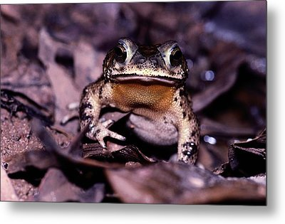 A Rain Forest Toad Of The Family Metal Print by Mattias Klum