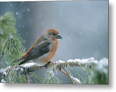 A Red Crossbill Loxia Curvirostra Metal Print by Michael S. Quinton