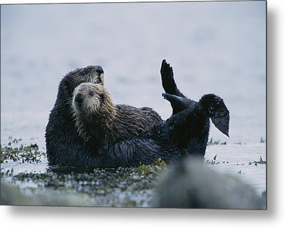A Sea Otter Cradling Her Pup In A Kelp Metal Print by Joel Sartore