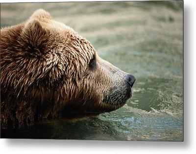 A Side-view Of A Captive Kodiak Bear Metal Print by Tim Laman