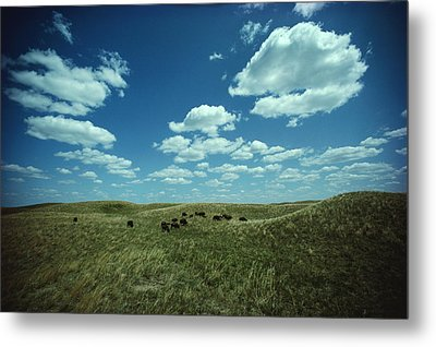 A Small Herd Of Bison Bison Bison Graze Metal Print by James P. Blair