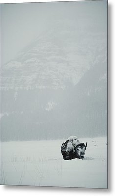 A Snow-covered American Bison Stands Metal Print by Michael S. Quinton
