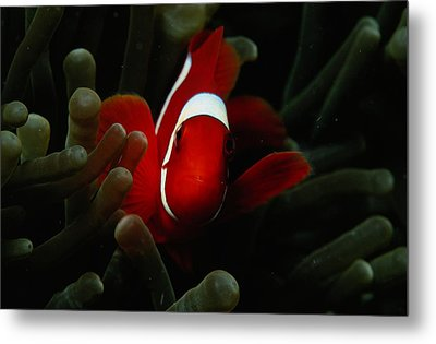 A Spinecheek Anemonefish Premnas Metal Print by Tim Laman