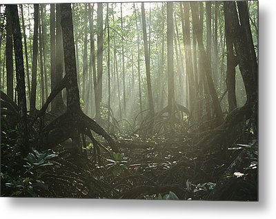 A Tangle Of Buttressed Roots In A Misty Metal Print by Tim Laman