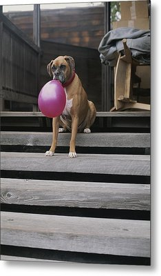 A Tough Looking Boxer Delicately Holds Metal Print by Marc Moritsch
