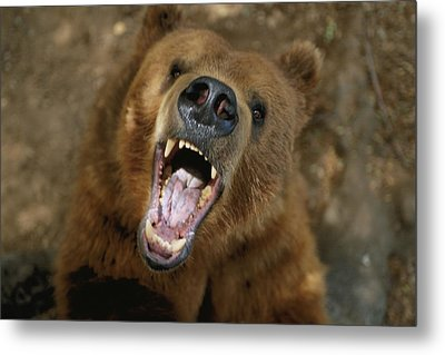 A Trained Kodiak Bear With Its Mouth Metal Print by Joel Sartore