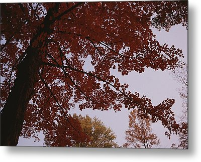A Tree Displays Bright Red Autumn Metal Print by Stephen Alvarez